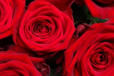 Losse rode rozen