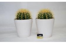 D&M Cactus duo